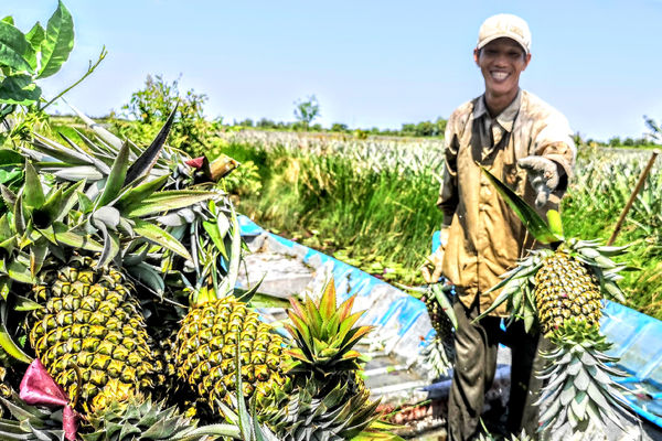 Value chain analysis for Pineapple in Hau Giang (consultant). Deadline Oct 18th.